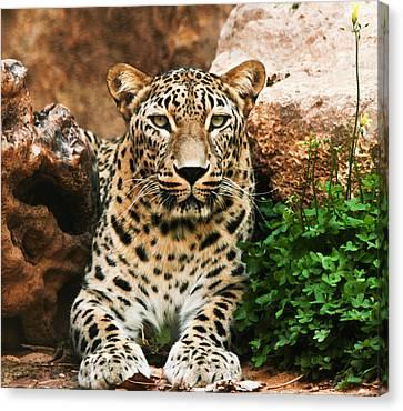 Leopard Canvas Print by Amr Miqdadi