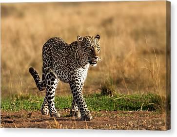 Leopard Binti Masai Mara Canvas Print
