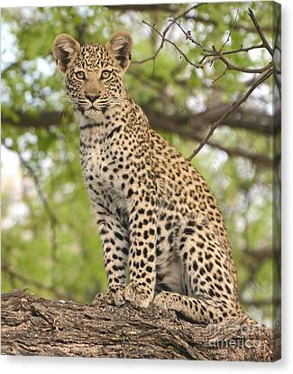 Leopard Cub Gaze Canvas Print