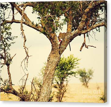 Leopard Eating His Victim On A Tree In Tanzania Canvas Print by Michal Bednarek
