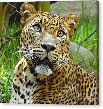 Leopard Face Canvas Print by Clare Bevan