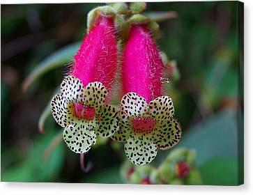 Leopard Flower - K. Digitaliflora Canvas Print