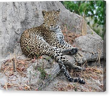 Leopard Gaze Termite Hill Canvas Print