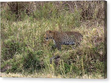 Leopard In The Grass Canvas Print