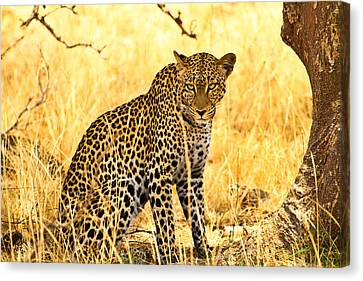 Leopard Canvas Print by Kongsak Sumano