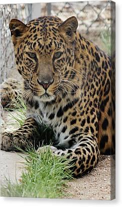 Leopard Lounging 1 Canvas Print
