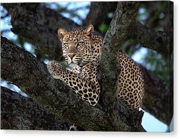 Leopard Male In A Tree In The Serengeti Canvas Print by Maggy Meyer