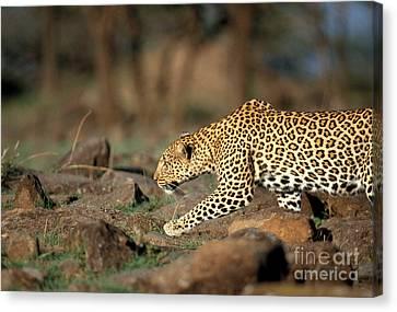 Leopard Canvas Print by Mark Newman