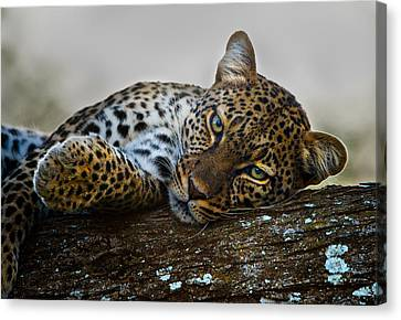 Leopard Panthera Pardus Lying Canvas Print by Panoramic Images