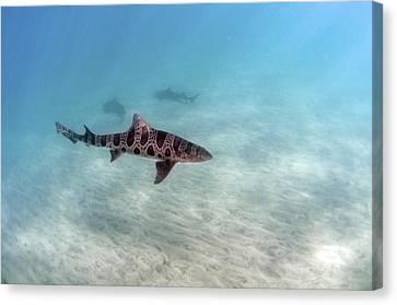 Leopard Shark Canvas Print by Greg Amptman