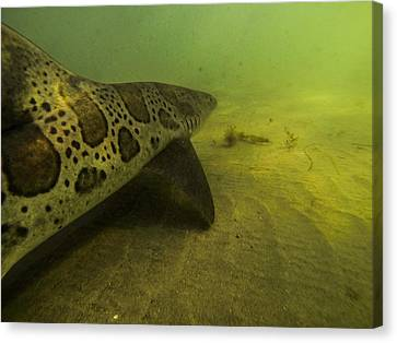 Leopard Shark Canvas Print by Shane Brown