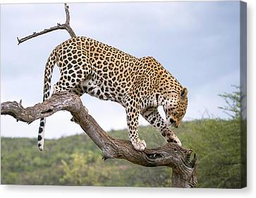 Leopard Canvas Print by Simon Booth