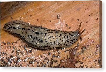 Leopard Slug Or Great Grey Slug Canvas Print