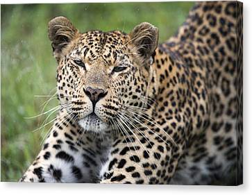 Leopard Stretching Sabi-sands Game Canvas Print by Sergey Gorshkov