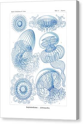 Leptomedusae Canvas Print by Ernst Haeckel