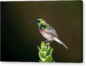 Lesser Double Collared Sunbird Canvas Print
