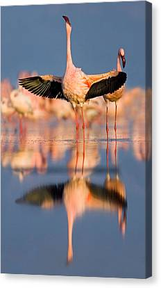 Lesser Flamingo Wading In Water, Lake Canvas Print by Panoramic Images