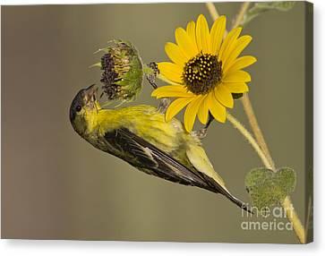 Lesser Goldfinch On Sunflower Canvas Print
