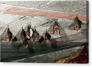 Lesser Horseshoe Bats Roosting Canvas Print by Bob Gibbons