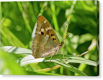 Romania Canvas Print - Lesser Purple Emperor Butterfly by Bob Gibbons