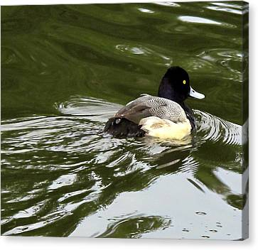 Canvas Print featuring the photograph Lesser Scaup by Suzy Piatt