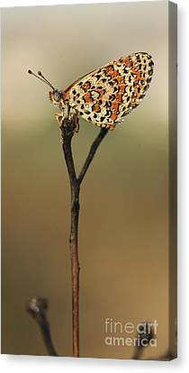 Lesser Spotted Fritillary Canvas Print by Alon Meir