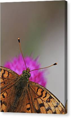 Lesser Spotted Fritillary Canvas Print by Amos Dor