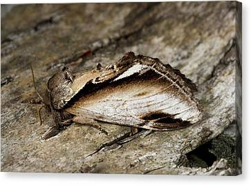 Lesser Swallow Prominent Moth Canvas Print by Nigel Downer