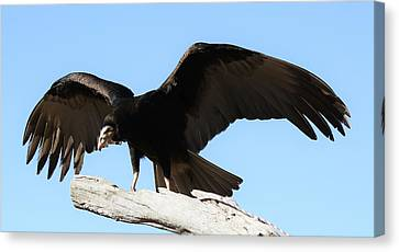 Lesser Yellow Headed Vulture Canvas Print by Paulette Thomas