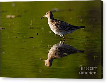 Lesser Yellowlegs Canvas Print by Larry Ricker