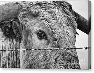 Coos Canvas Print - Let Me Go Free by John Farnan