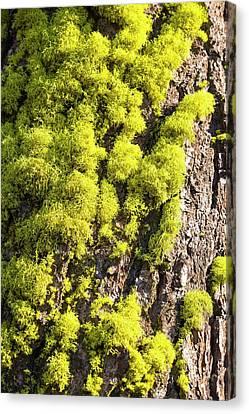 Green Lichen Canvas Print - Letharia by Ashley Cooper