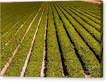 Romaine Canvas Print - Lettuce Farming by Robert Bales