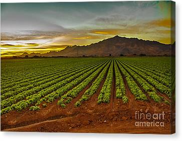 Lettuce Sunrise Canvas Print by Robert Bales