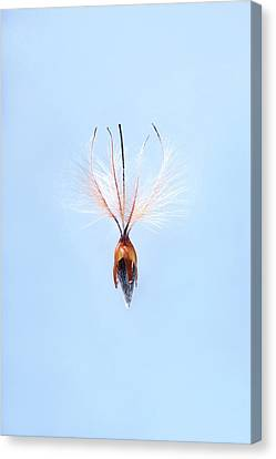 Leucadendron Rubrum Seed Canvas Print by Cordelia Molloy