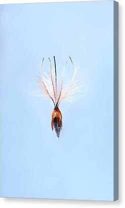 Leucadendron Rubrum Seed Canvas Print