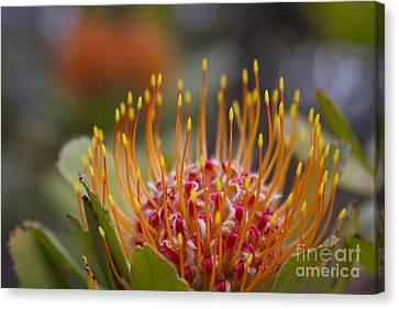 Leucospermum Pincushion Protea - Tropical Sunburst Canvas Print by Sharon Mau