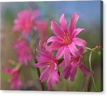 Close Focus Floral Canvas Print - Lewisia Trevosia, Summer Colorado, Usa by Tim Fitzharris