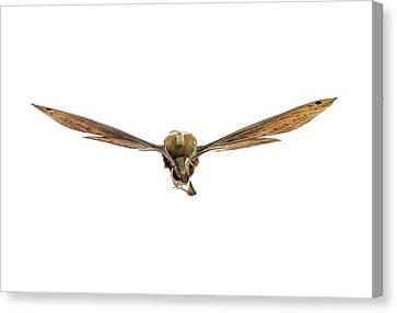Libya Sphinx Moth Canvas Print