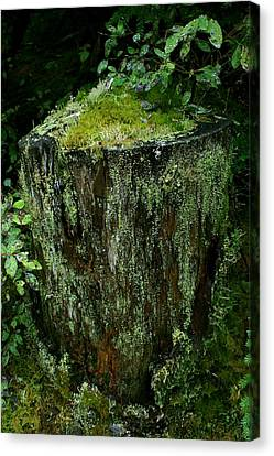 Lichen And Moss Covered Stump Canvas Print by Amanda Holmes Tzafrir