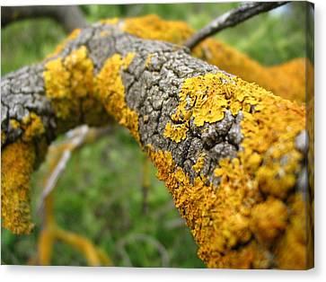Lichen On Branch Canvas Print