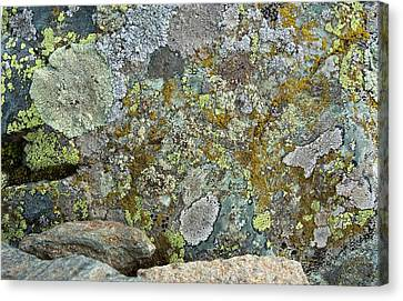 Lichens On A Rock Canvas Print by Bob Gibbons
