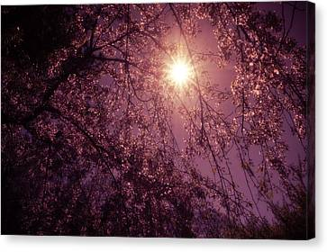 Light And Cherry Blossoms Canvas Print by Vivienne Gucwa