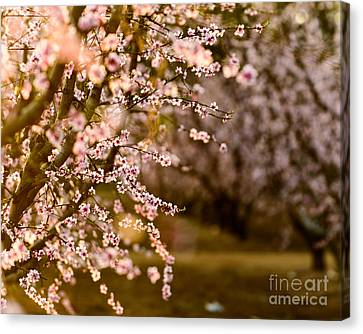 Canvas Print - Light In The Orchard by Terry Garvin