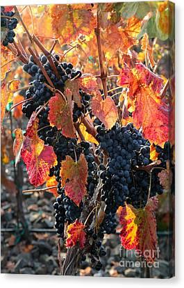 Light Through Fall Vineyard Canvas Print