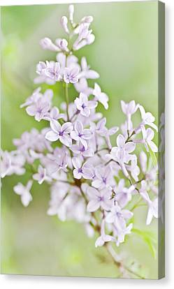 Lilac Blossoms Canvas Print by Frank Tschakert