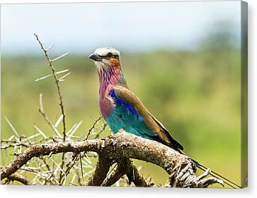 Lilac-breasted Roller (coracias Caudatus) Canvas Print by Photostock-israel
