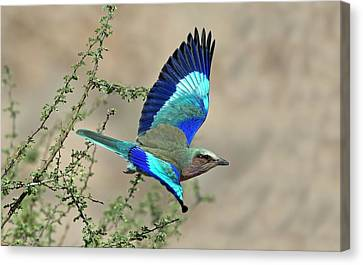 Lilac-breasted Roller In Flight Canvas Print