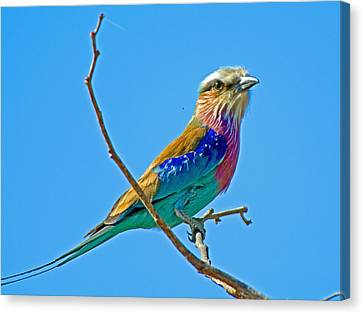 Lilac-breasted Roller In Kruger National Park-south Africa Canvas Print by Ruth Hager