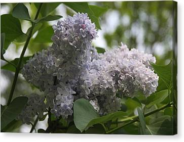 Canvas Print featuring the photograph Lilac by Vadim Levin